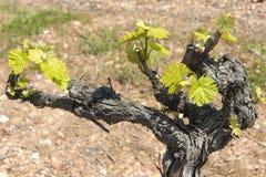 发芽新的季节的葡萄树 库存图片