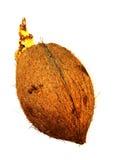 发芽椰子 库存照片