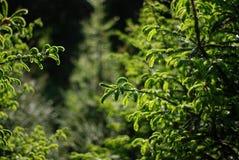 发芽的云杉的森林 库存照片