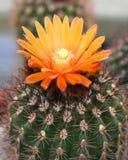 发芽的仙人掌沙漠 库存图片