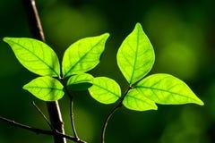 发芽的叶子 库存图片