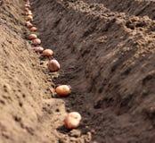 发芽的土豆在地面被播种 免版税图库摄影