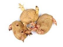 发芽的土豆隔绝了 免版税库存图片