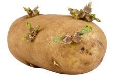 发芽的土豆 库存照片