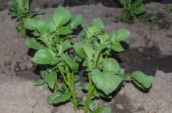 发芽的嫩土豆土豆在庭院里在5月 在农场的增长的土豆 免版税库存图片