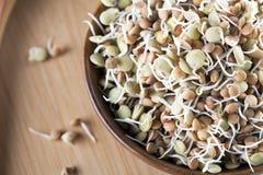 发芽的扁豆 库存图片