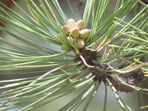 发芽的杉木 库存图片