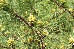 发芽的杉树 库存照片
