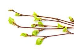发芽的桦树叶子 免版税库存照片