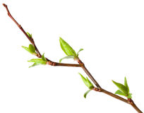 发芽的樱桃春天结构树 库存图片