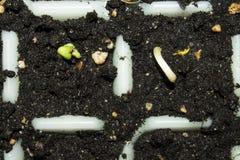 发芽的种子背景 库存图片