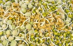 发芽的种子 免版税图库摄影