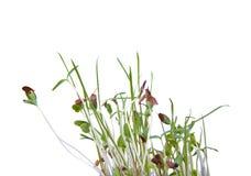发芽的种子 图库摄影