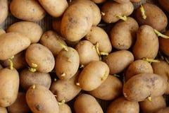 发芽的种植的土豆新芽 库存图片