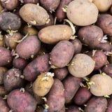 发芽的繁殖土豆 免版税库存照片