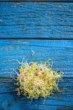 发芽的红三叶草种子 免版税库存照片