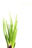 发芽的红洋葱 免版税库存照片