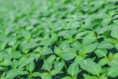发芽的胡椒顶视图 盆的胡椒幼木绿色叶子 免版税库存图片