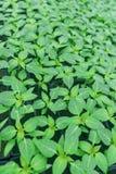 发芽的胡椒顶视图 盆的胡椒幼木绿色叶子 库存图片