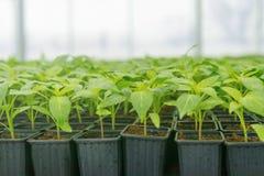 发芽的胡椒 盆的胡椒幼木绿色留下辣椒粉 免版税图库摄影