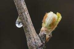 发芽的葡萄树特写镜头  图库摄影
