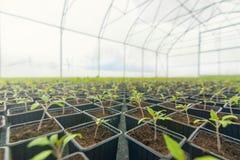 发芽的蕃茄 盆的蕃茄幼木绿色叶子 库存照片