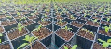 发芽的蕃茄 盆的蕃茄幼木绿色叶子 免版税图库摄影