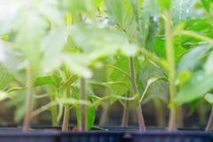 发芽的蕃茄 盆的蕃茄幼木绿色叶子 免版税库存图片