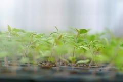 发芽的蕃茄 盆的蕃茄幼木绿色叶子 免版税库存照片