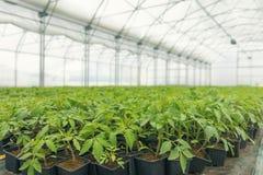 发芽的蕃茄 盆的蕃茄幼木绿色叶子 库存图片