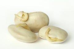 发芽的豆紧密  免版税库存照片