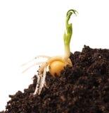 发芽的豌豆 图库摄影