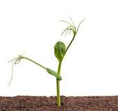 发芽的豌豆 免版税库存照片