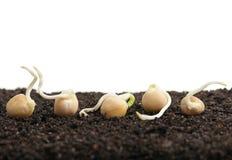 发芽的豌豆 免版税库存图片