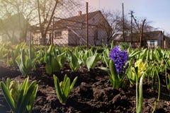 发芽的风信花在温暖的阳光下的早期的春天庭院里 免版税图库摄影