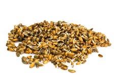 发芽的麦子、拉伊和大麦 库存图片
