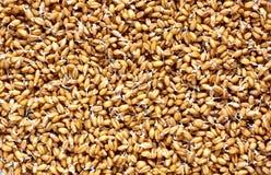 发芽的麦子背景 免版税库存照片