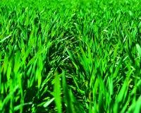 发芽的麦子年轻人 库存照片