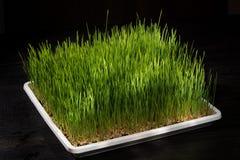 发芽的麦子 库存图片
