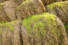 发芽的麦子 免版税库存图片