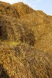 发芽的麦子 免版税库存照片