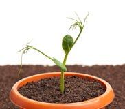 发芽的年幼植物 库存图片