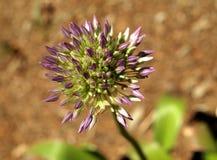 发芽的紫色葱属 免版税库存照片