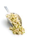发芽的绿豆 库存图片