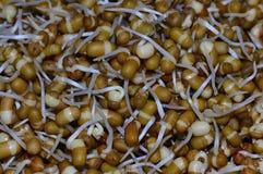 发芽的Matki,豇豆aconitifolia或乌头叶菜豆 免版税库存图片
