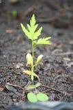发芽种子 免版税库存图片