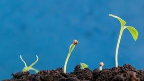 发芽美妙的绿色自然种植从生长在地面农业概念、春天或者夏时的种子的演变新芽 股票视频