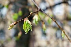 发芽芽在春天 免版税库存照片
