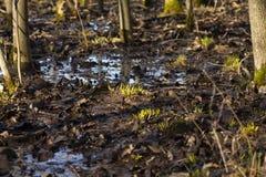 发芽草在被充斥的森林里 库存图片