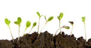 发芽莴苣种子 免版税库存照片